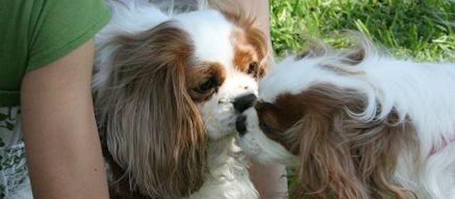 Dallas Fort Worth Cavalier King Charles Spaniel Club Rotating Header Image